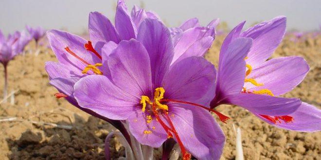 زعفران سرگل تربت حیدریه